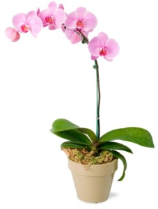 Pink Phalenopsis orchid pot