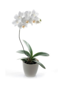 Long lasting Love- orchid plan
