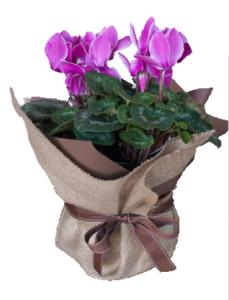 Mother`s Day cyclamens pot