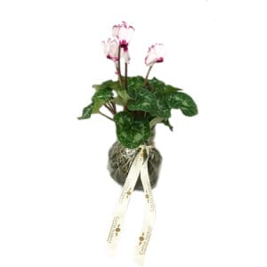 Tall Cyclamen Kokedama